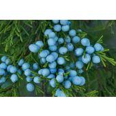 Cedar Juniper Berry
