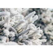 Frosted Winter Pine