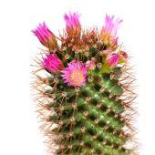 Pink cactus flower