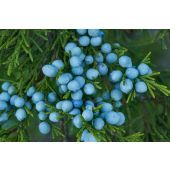 Cedar Juniper Berry